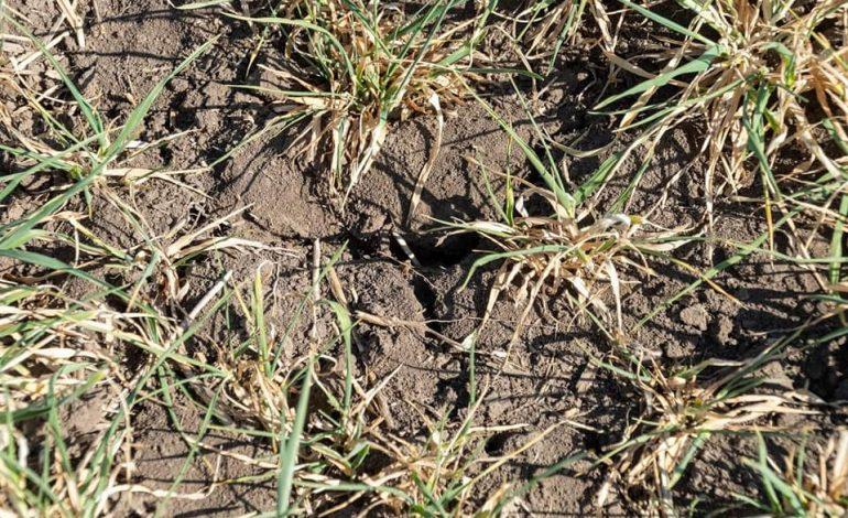 На Николаевщине из-за аномально теплой зимы и засухи погибли посевы зерновых на 38 тысяч гектарах