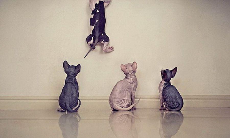 Серена Ходсон делает забавные фото кошек-сфинксов.