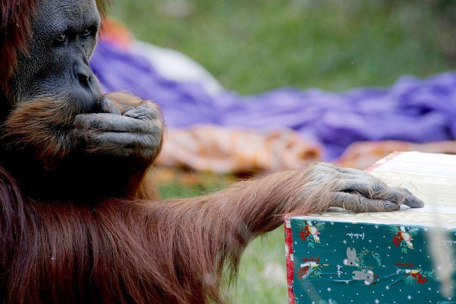 Обитатели австралийского зоопарка получили рождественские подарки