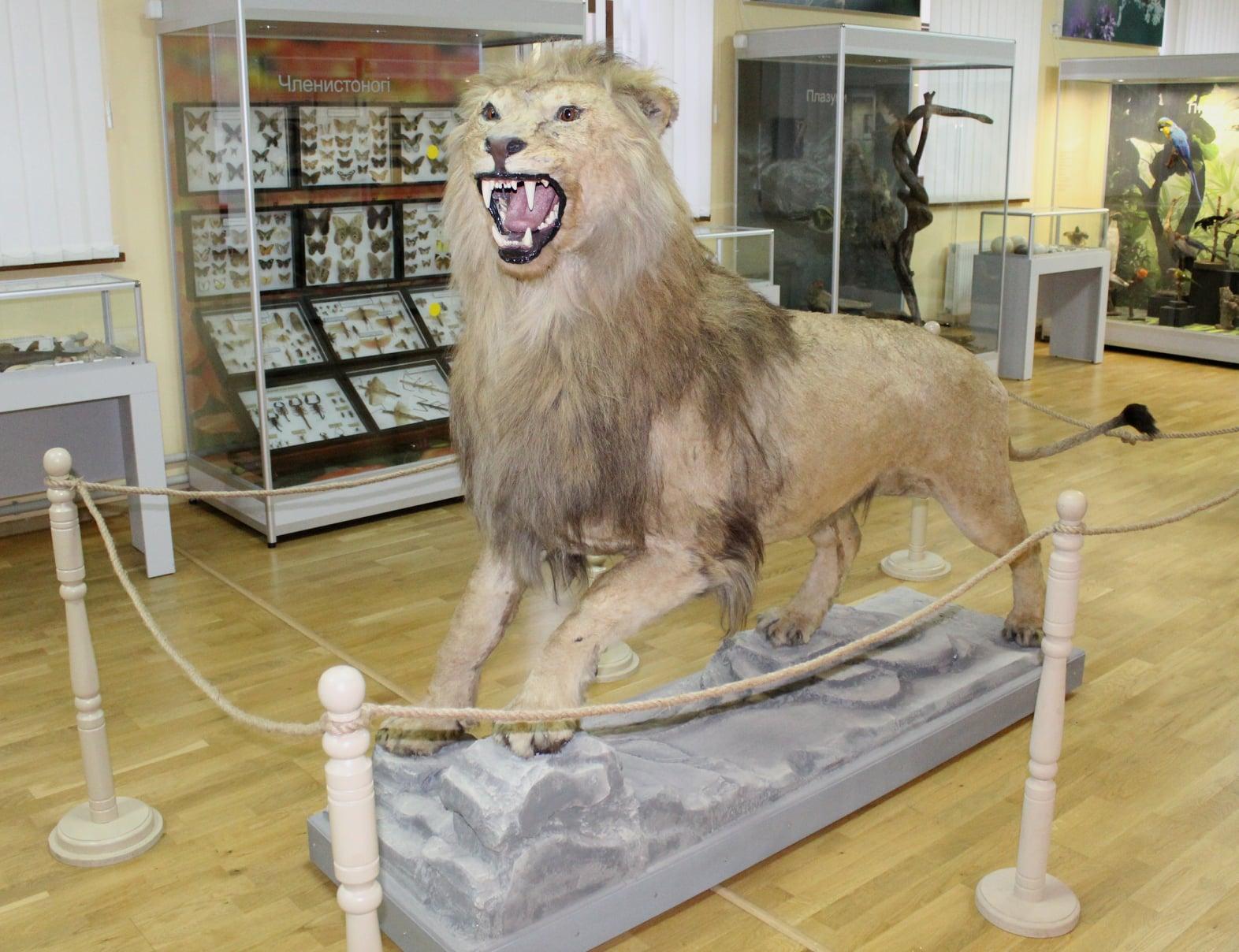 В «Старофлотских казармах» подарили жизнь старому льву